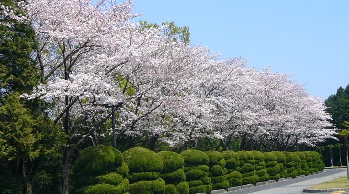 施工実績:名古屋商科大学 緑地管理